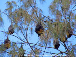 Tree full of Flying Foxes